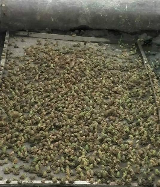 江苏特价供应黑斑蛙青蛙幼蛙种苗包证件包上车_质量好的小蛙种苗推荐