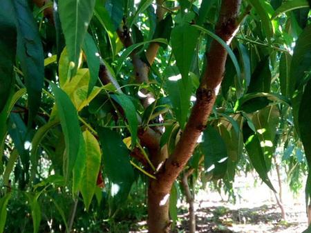 想要易种植的桃树苗就来北票市城关胜兴|内蒙古桃树苗供应