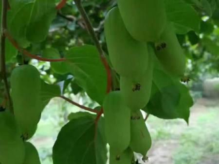 供应辽宁品种好的枣树苗——枣树苗供应