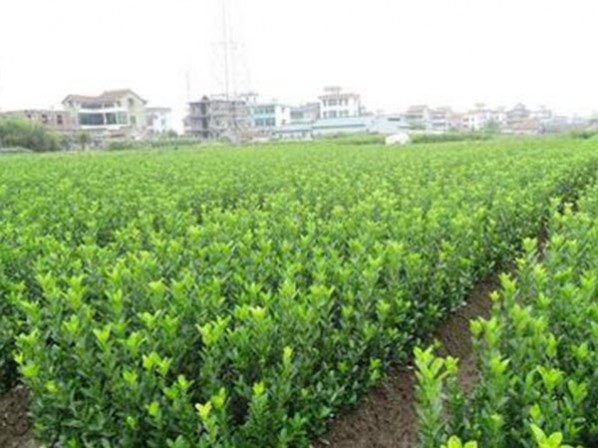 大葉黃楊報價-哪裡能買到品種好的大葉黃楊