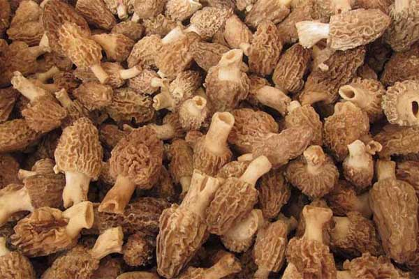 西宁高品质高原羊肚菌出售|天然的羊肚菌