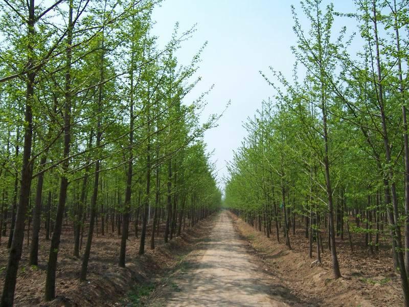 云南银杏苗多少钱一棵 大量出售山东银杏树