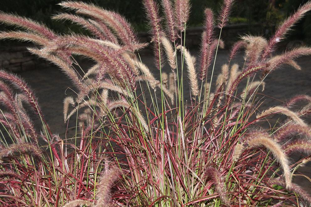 青州紫穗狼尾草-销量好的紫穗狼尾草哪里有供应