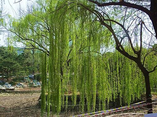 长春金丝垂柳苗哪家好-辽宁品种好的金丝垂柳供应