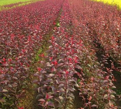 葫芦岛密枝红叶李-供应品质优良的密枝红叶李