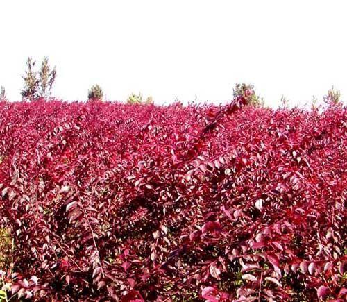 沈阳密枝红叶李苗-想要易成活的密枝红叶李就来开原兴海苗圃种子经销