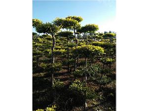 佳木斯金葉榆價格,想要優惠的金葉榆就來開原興海苗圃種子經銷