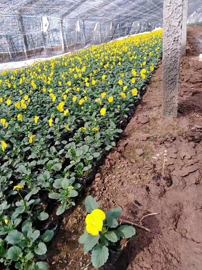 青州角堇-想买实惠的角堇,就到树茂花卉苗木