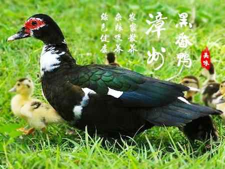 漳州黑番鸭