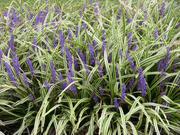 云南金边麦冬-供应山东优惠的金边麦冬