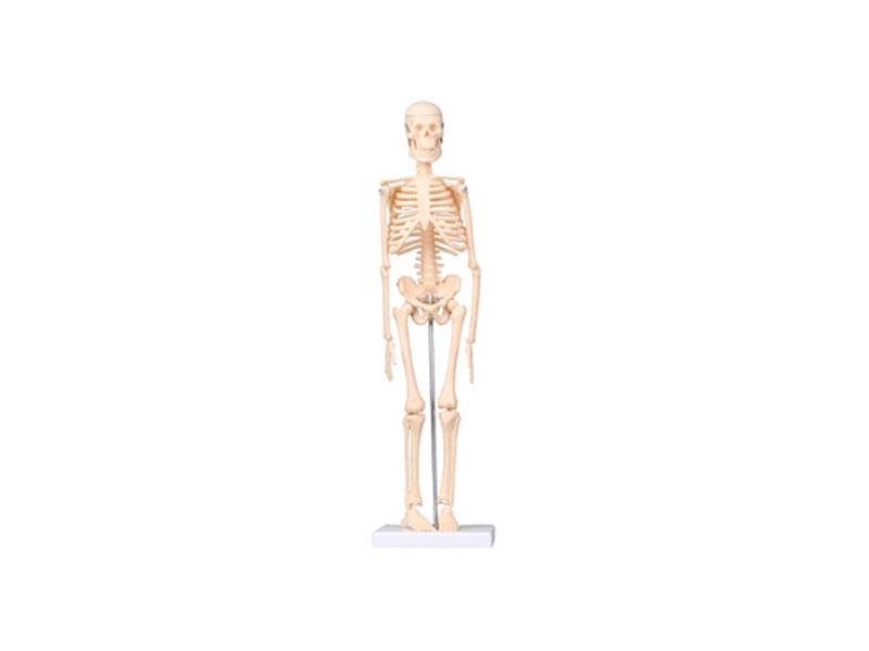 买质量好的生物模型当选金博通科教仪器-信阳人体及生理模型厂家
