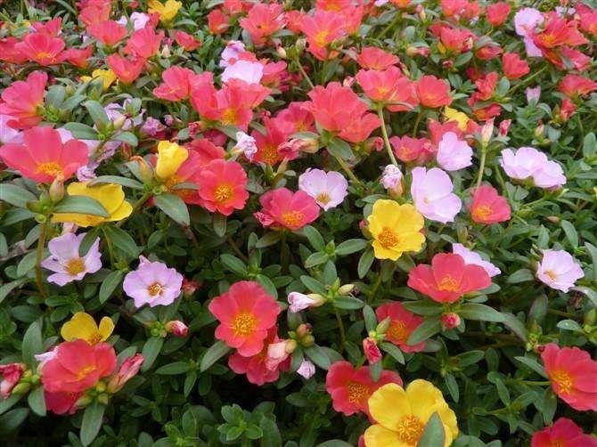 【花開不斷,驚艷你的陽臺】山東太陽花種植基地-太陽花培育基地