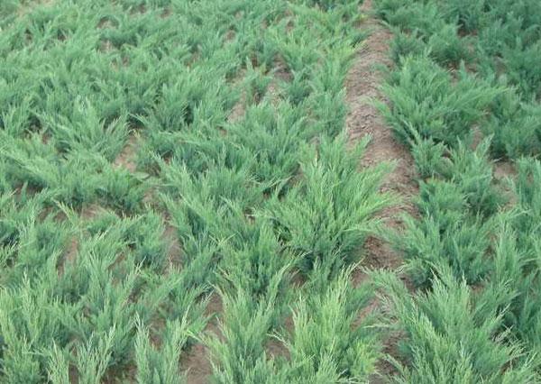 陕西沙地柏-想要品种好的沙地柏就来晨鸣花卉苗木