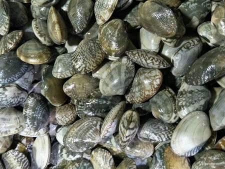 四川花蛤-实惠的花蛤,东港勇猛水产食品供应