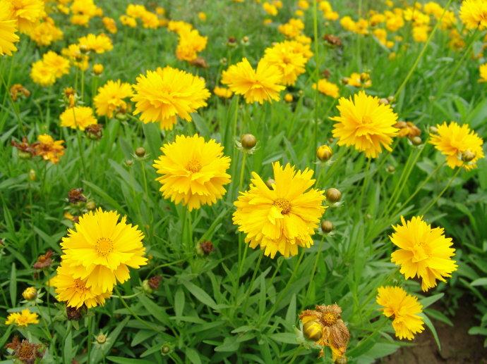 甯夏金雞菊|優良金雞菊首推麗園花卉