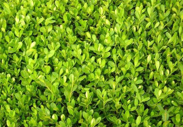 瓜子黃楊價格-想要實惠的瓜子黃楊就來麗園花卉