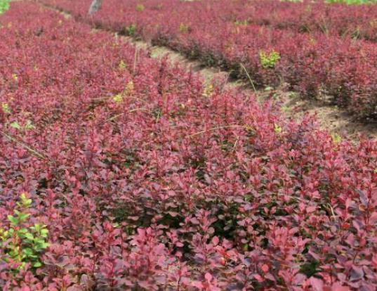 紫叶小檗哪里有,紫叶小檗哪家好《满满的小惊喜》