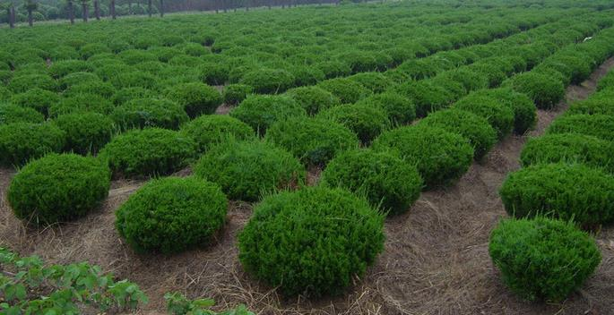 山东龙柏苗种植-供应山东成活率高的龙柏苗