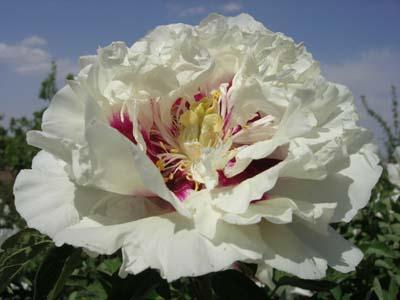 成活率高的花卉出售,兰州大丽花经销商