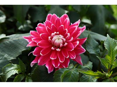 临洮大丽花批发-哪里能买到实惠的大丽花