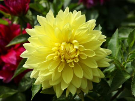 临洮大丽花-供应定西优惠的大丽花