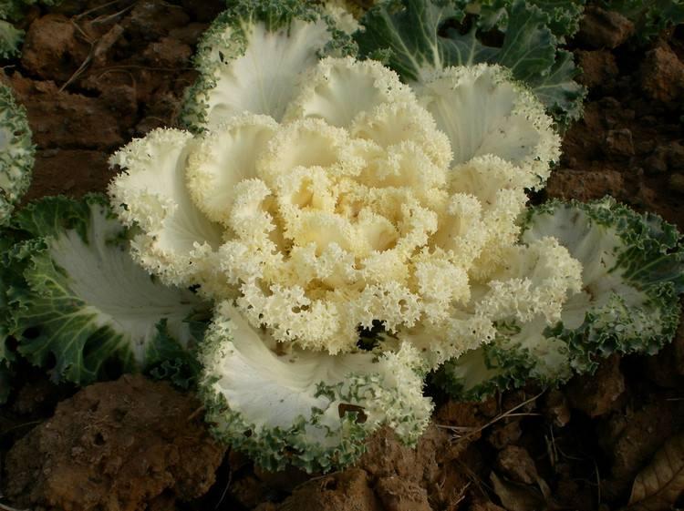安徽白色羽衣甘蓝-哪里有提供优惠的白色羽衣甘蓝