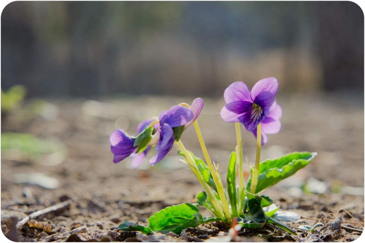 紫花地丁,紫花地丁供应商,紫花地丁种植基地
