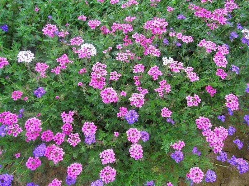 陕西美女樱-高质量的美女樱瀚文花卉苗木供应