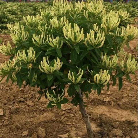 四季金银花-易种植的响水一号金银花苗出售