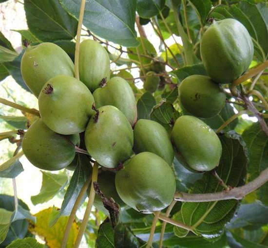 野生猕猴桃价格,哪里有供应价位合理的软枣猕猴桃
