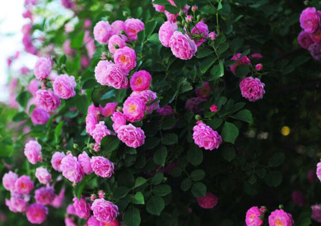 蔷薇多少钱-长期供应蔷薇