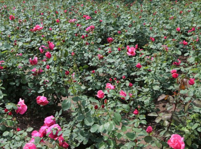 蔷薇多少钱 潍坊划算的蔷薇哪里有供应