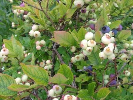 蓝莓树苗价格-蓝莓树苗当选北票市城关胜兴