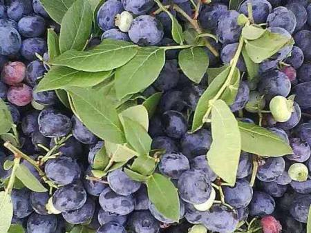 辽宁蓝莓树苗批发_哪里能买到好的蓝莓树苗