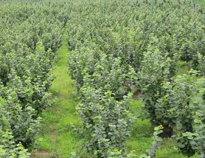 优质的榛子|实惠的辽宁榛子熙福诺农业供应