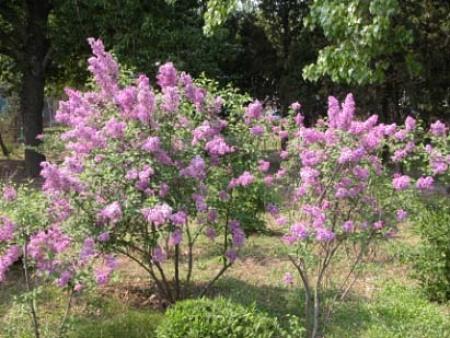灌木类种植-哪里能买到划算的紫叶稠李
