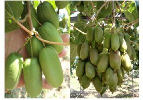 软枣猕猴桃苗龙城二号什么品种好-优良软枣猕猴桃苗龙城二号大量批发