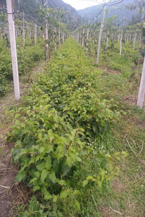 易栽种的软枣猕猴桃苗龙城二号-抢手的软枣猕猴桃苗龙城二号出售