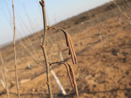 丹东杂交大果榛子苗价格-病虫害低的杂交大果榛子苗出售