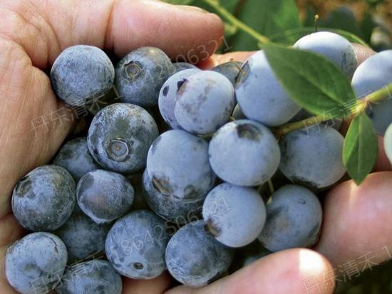 四川組培藍莓苗|在哪能買到高質量的藍莓組培苗
