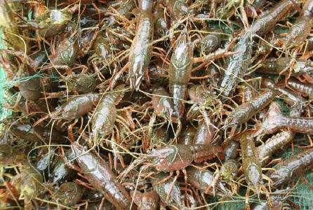 供应小龙虾种苗-好的小龙虾种苗市场价格