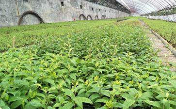 本溪软枣树苗批发|买软枣苗认准稼盛生态农业