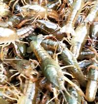 寶山哪里有小龍蝦種苗-銷量好的小龍蝦種苗哪里有供應