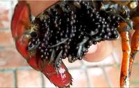 要买小龙虾种苗当选苏奥水产-温州哪里有小龙虾种苗