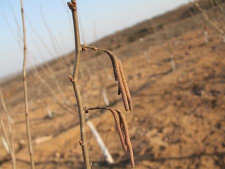 鸡西杂交榛子苗哪家好-哪里能买到优良的杂交榛子苗