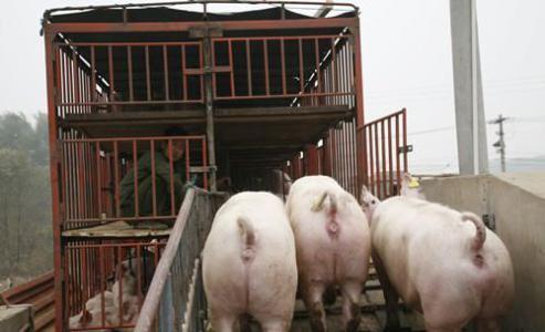 优良的小猪苗元农养殖供应-运城猪苗价格