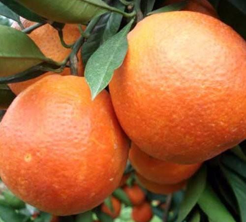品質好的柑橘出售 熱賣柑橘