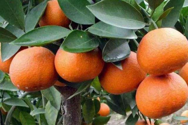 柑橘价位-眉山销量好的柑橘批发供应
