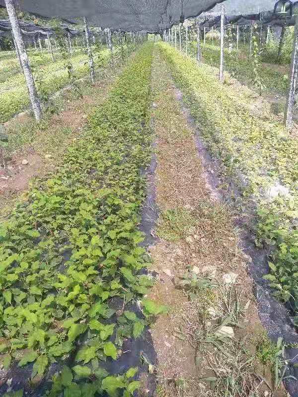 軟棗獼猴桃一年苗