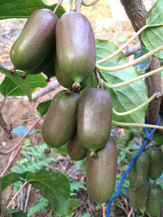 软枣猕猴桃一年苗_选庆丰软枣子种植基地-软枣猕猴桃苗